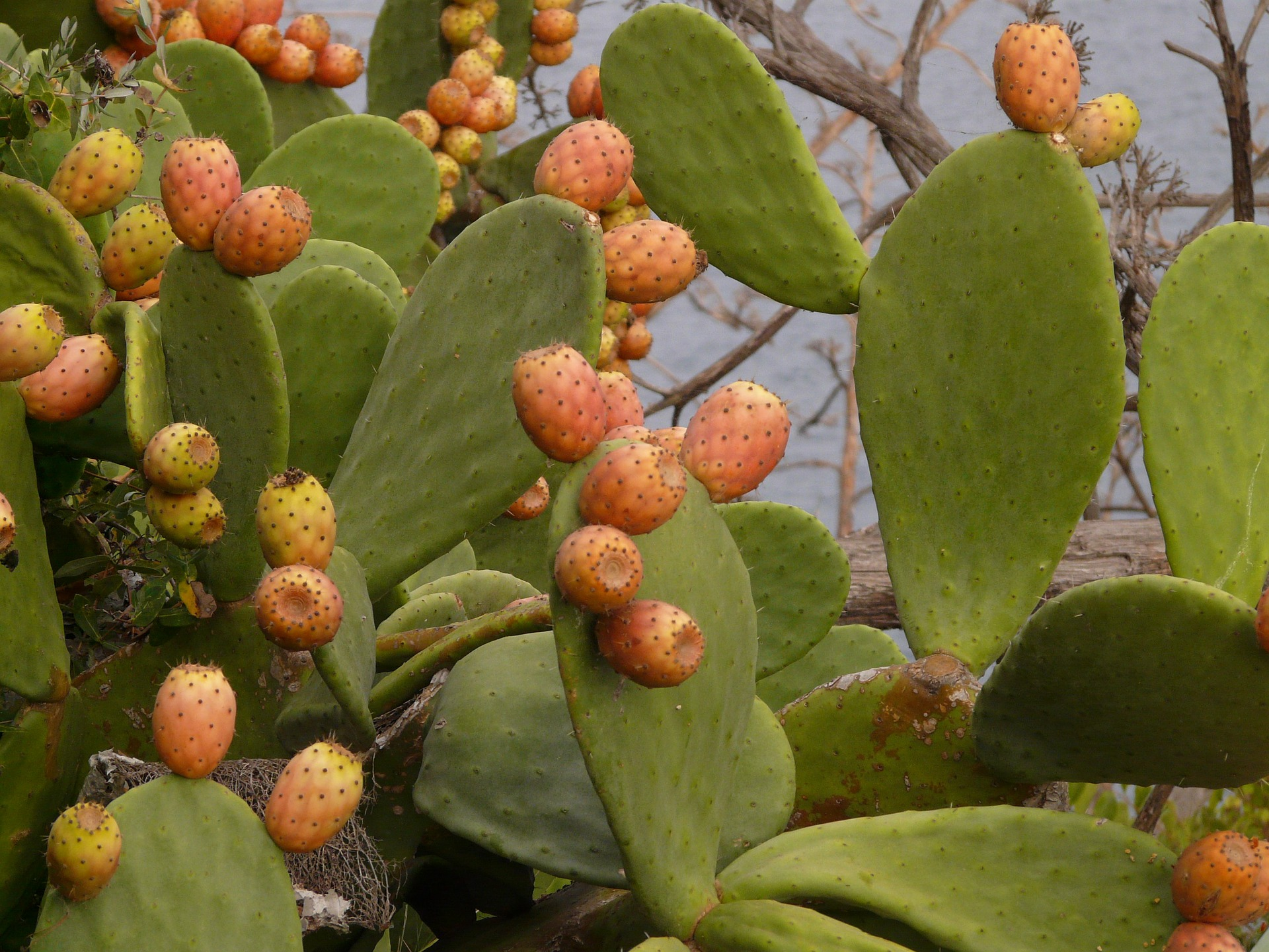 prickly-pear-9374_1920